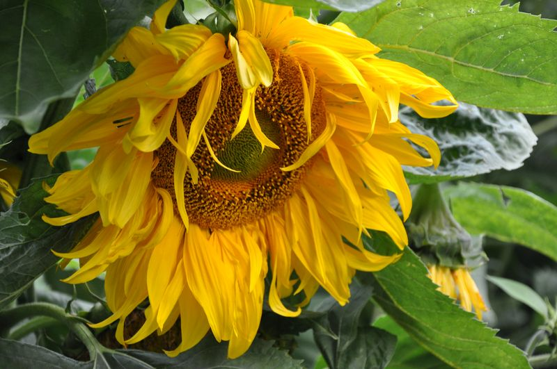 Echo Valley Farm Sunflower