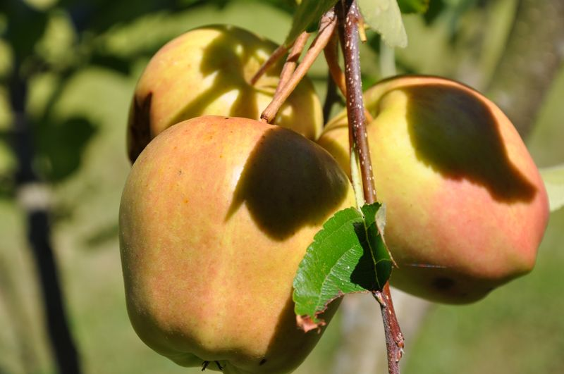 Apples Echo Valley